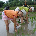 Rice planting experiential holiday